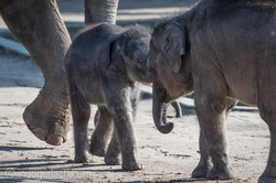 Baby_elephant_Zoo_Cologne_D50_2792