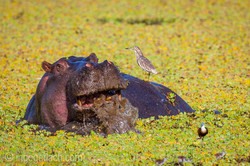 Flusspferd im Salat_IWG0066