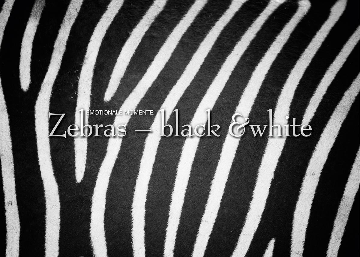 Kalender Zebras in schwarzweiß