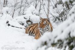 Sibirischer Tiger_IG34682