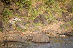 Leopard_Krokodil_Zebra_D4N_4476
