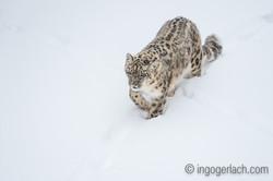 Schneeleopard_Snowleopard_D4N_6334