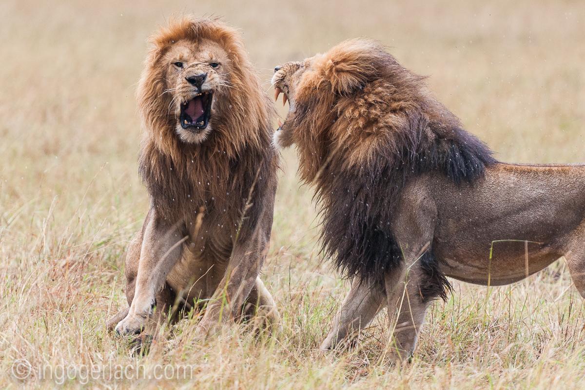 Löwen: Kampf der Giganten_D3X8140-2