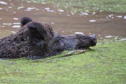Wildschwein im Wasser_D4N8312