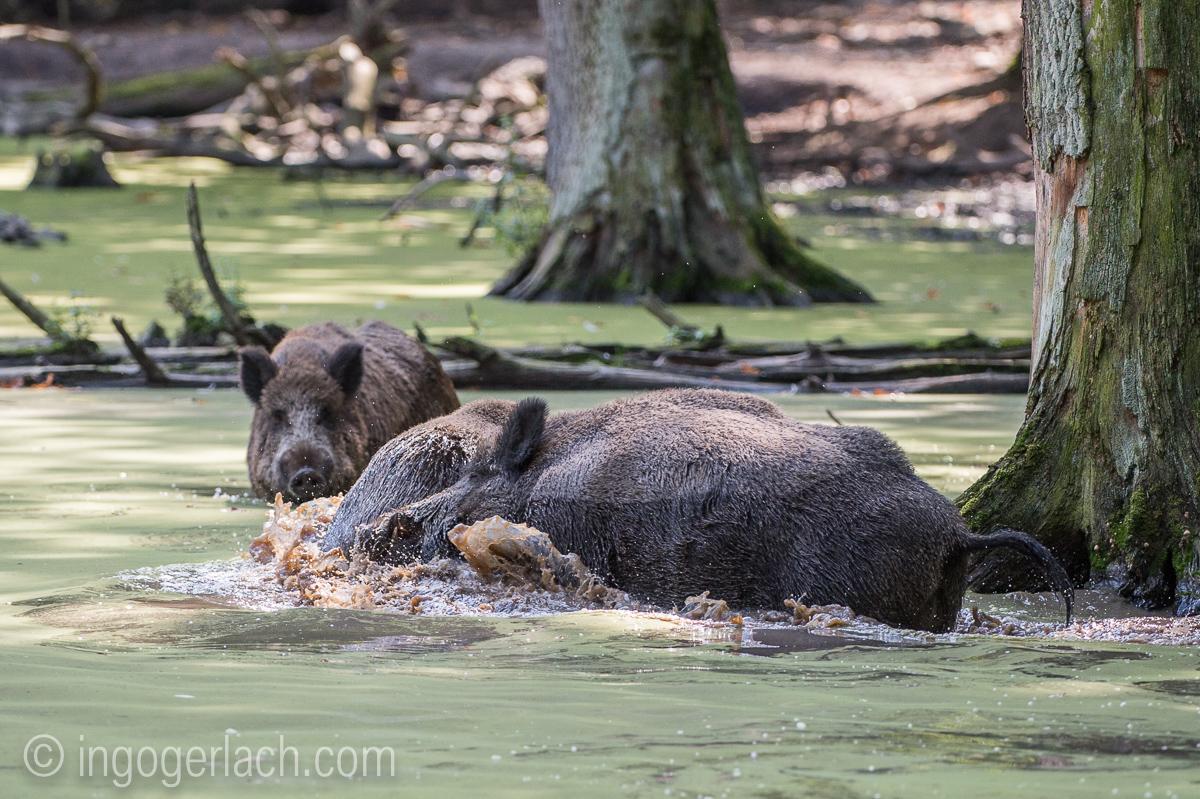 Wildschwein im Wasser_D4N7795