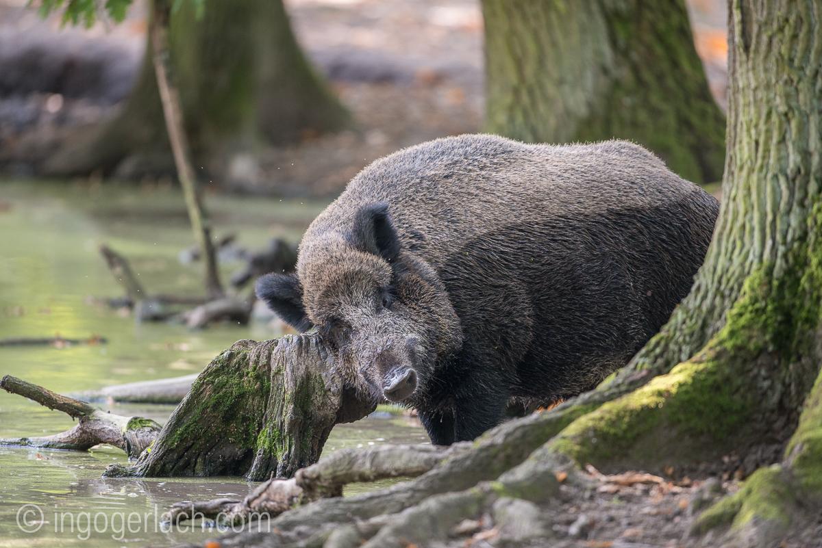 Wildschwein im Wasser_D8N2775