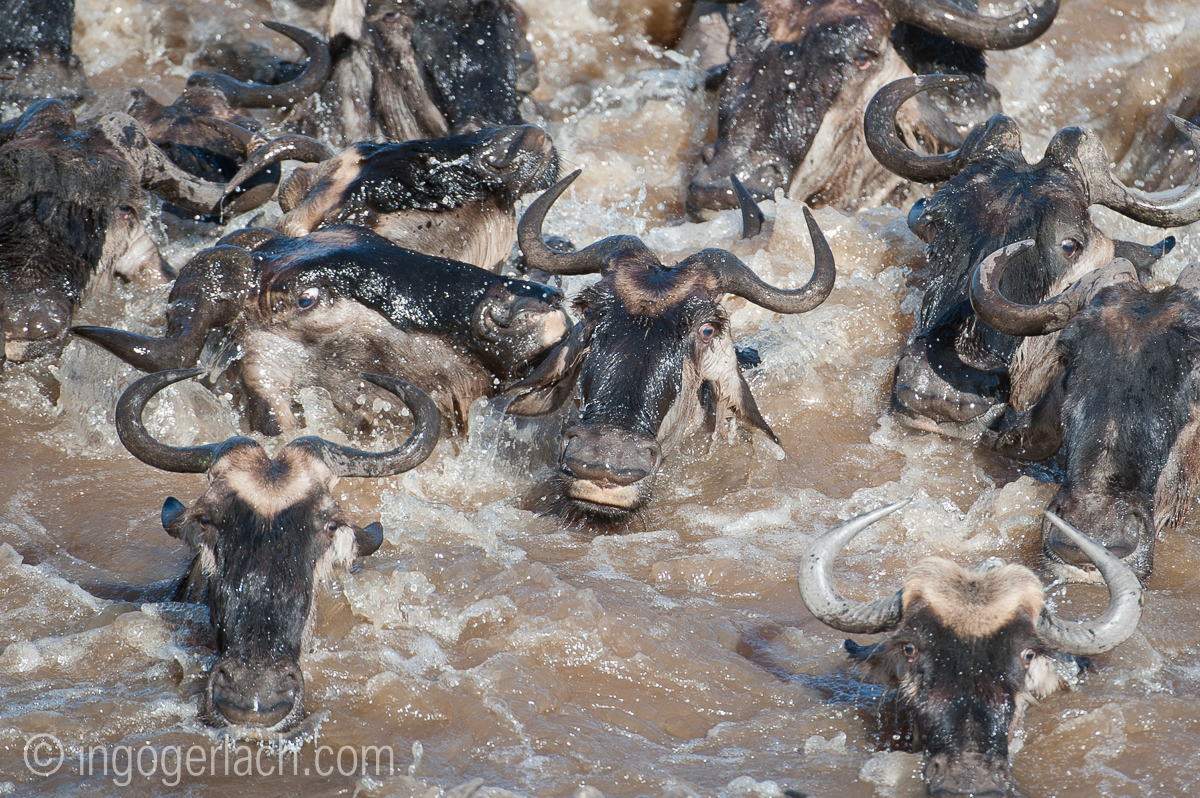 The great Migration_IG35916