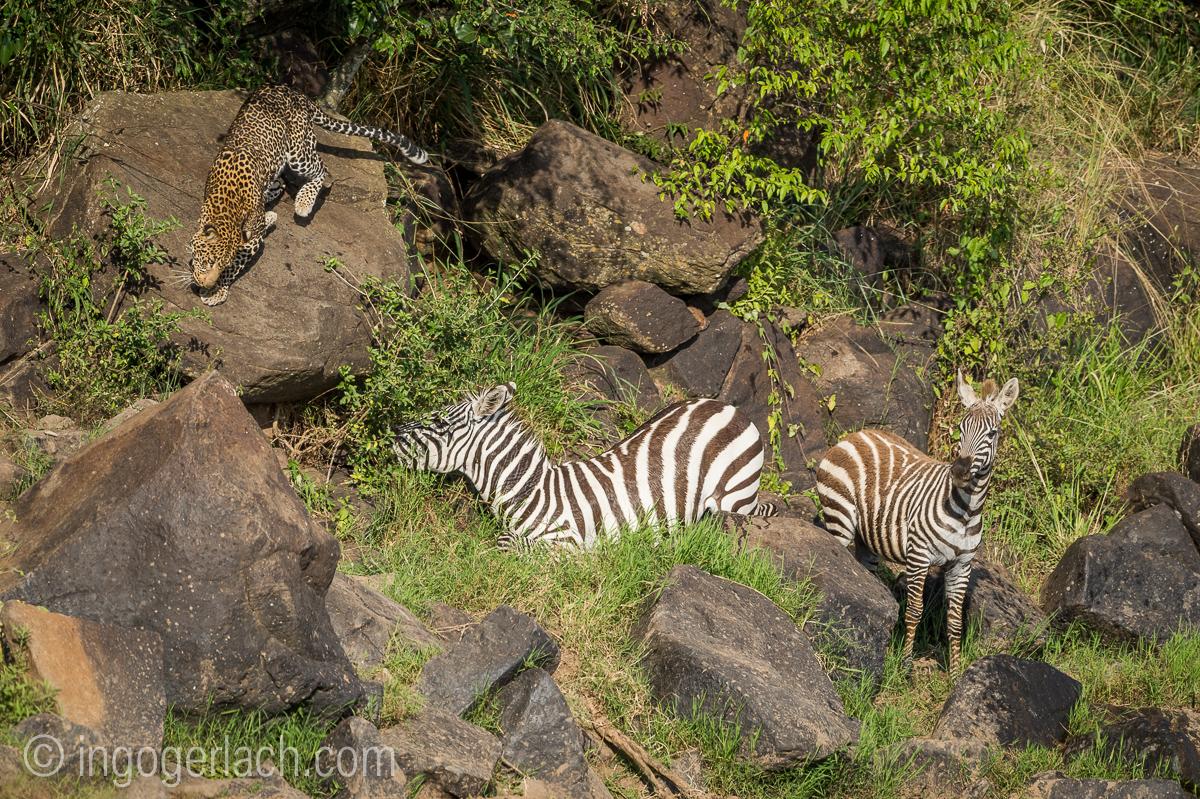 Leopard_Krokodil_Zebra_D4N_4394