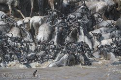 The great Migration_D3S2723