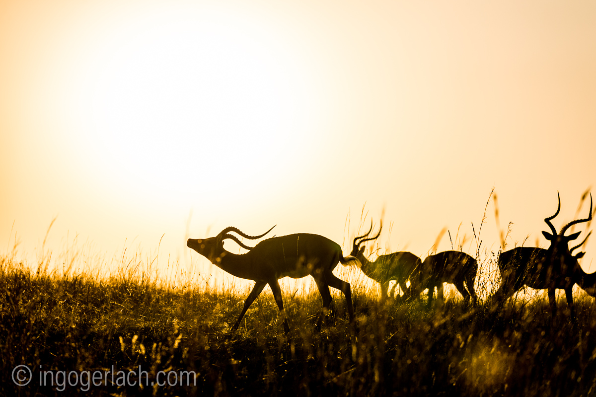Impala at sunrise_D4N_2804
