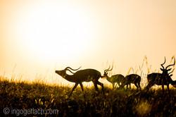 Impala at sunrise_D4N_2804