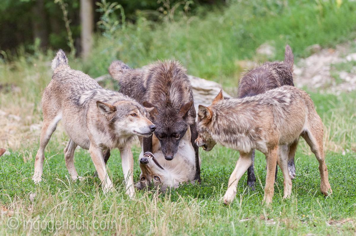 Timberwolf und Grauwolf_IGB8082