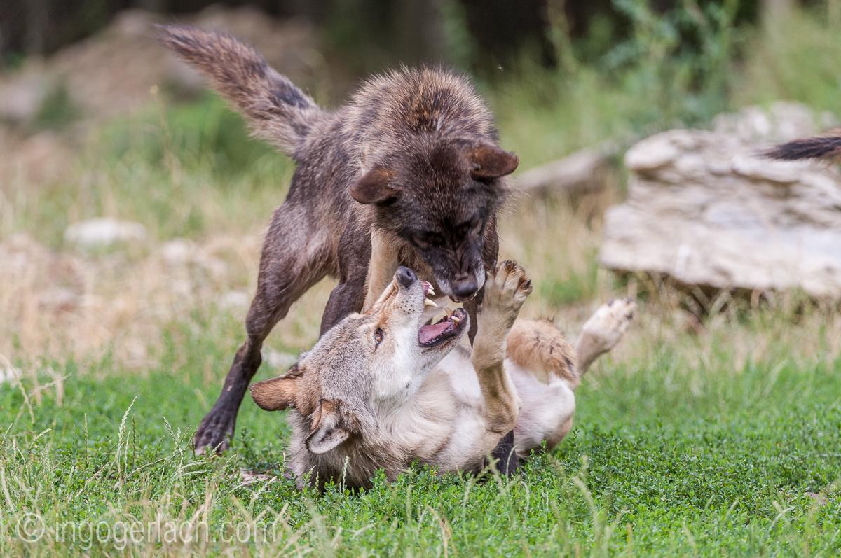Timberwolf und Grauwolf_IGB8089