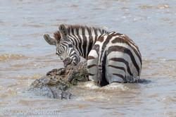 Krokodil killt Zebra_D4N_4655