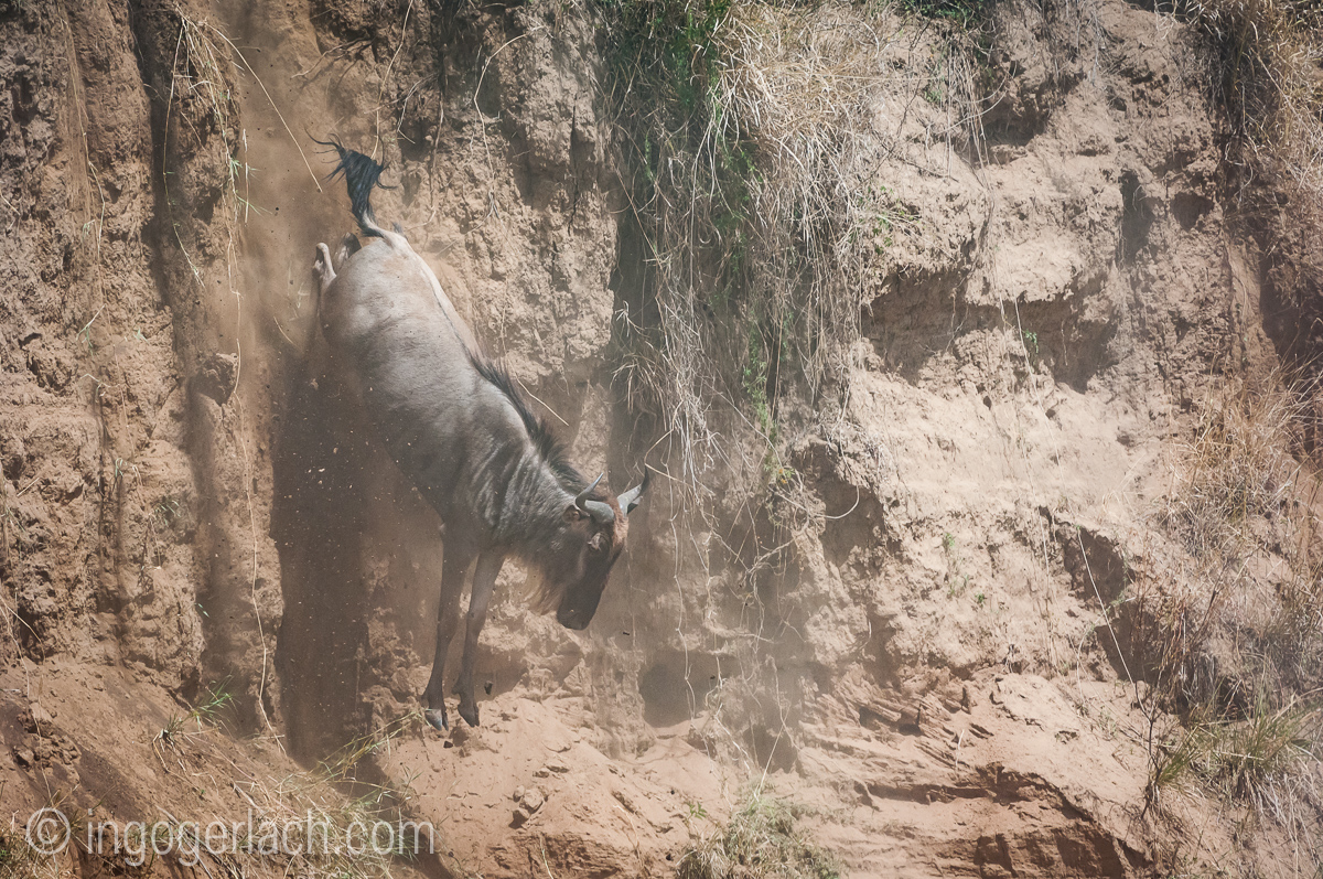 wildebeest jump to death_IWG4378