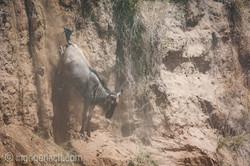 wildebeest jump to death_IWG4378