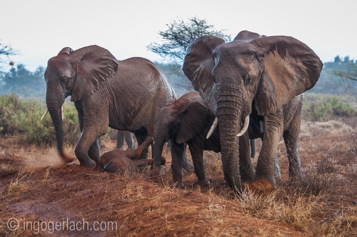Elefanten im Regen_IGB7639