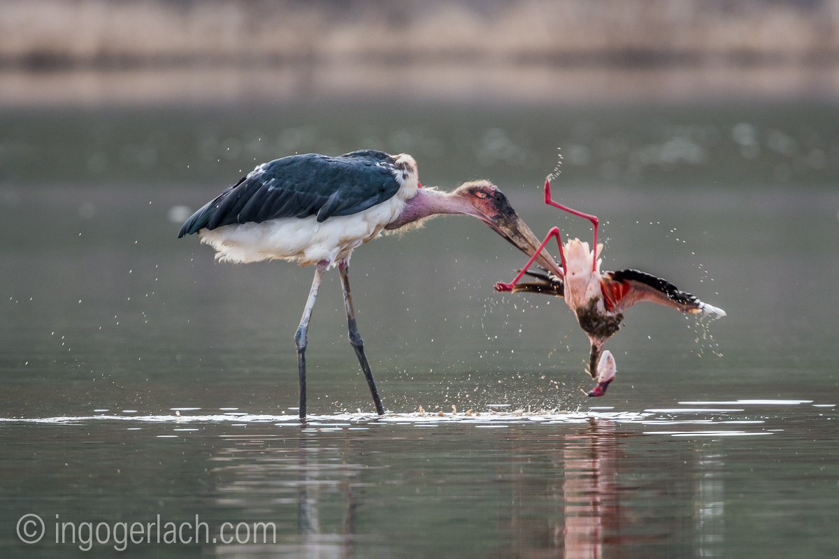 Marabu vs Flamingo_D722109