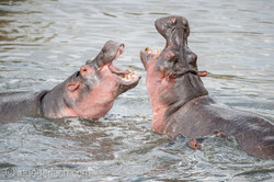 Hippos palavern_IG35663