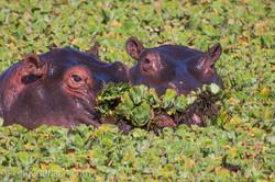 Flusspferd im Salat_IWG0665