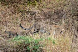 Mama Leopard mit ihren Babys_IG35658