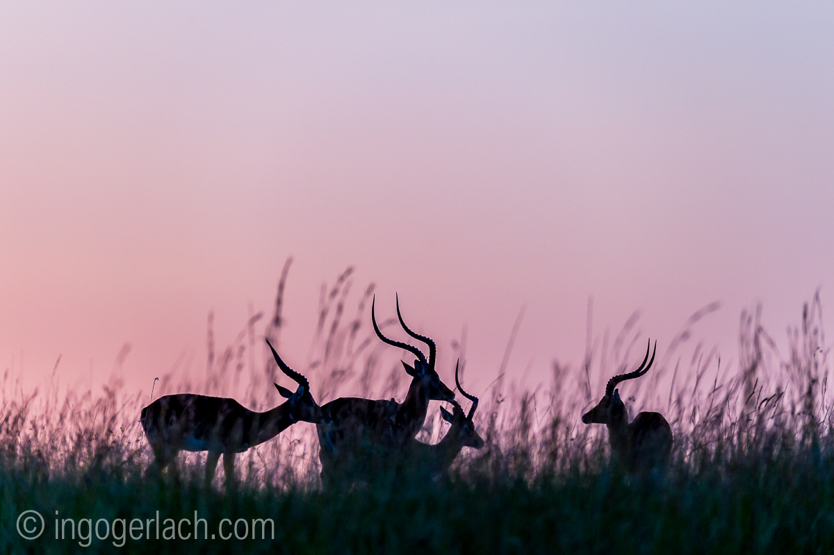 Impala at sunrise_D4N_2617