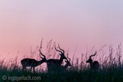 Impala at sunrise_D4N_2617