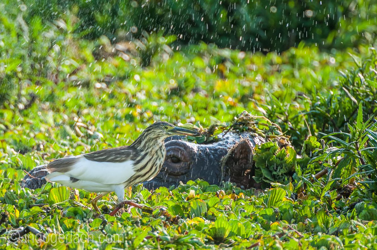 Flusspferd im Salat_IWG4589