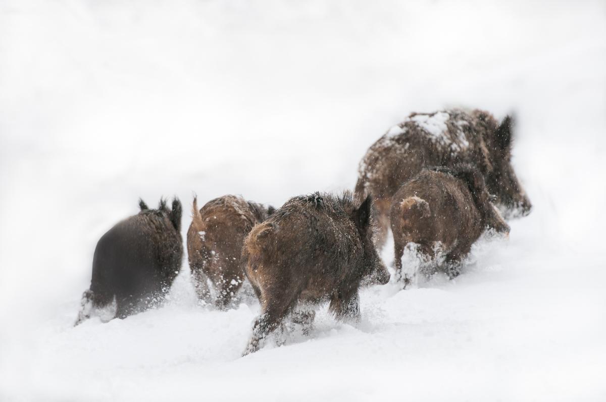 Wildschweine © Ingo Gerlach_IGB1489