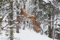 Sibirischer Tiger_IG34778