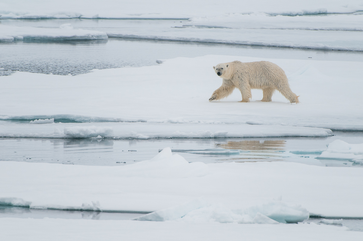 Eisbär © Ingo Gerlach_IGB6416