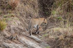 Mama Leopard mit ihren Babys_IG35696