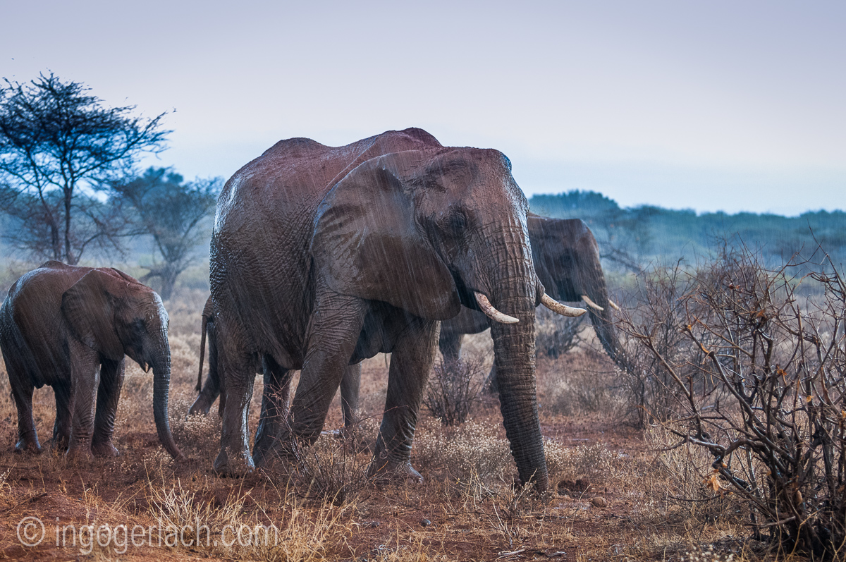 Elefanten im Regen_IGB7655