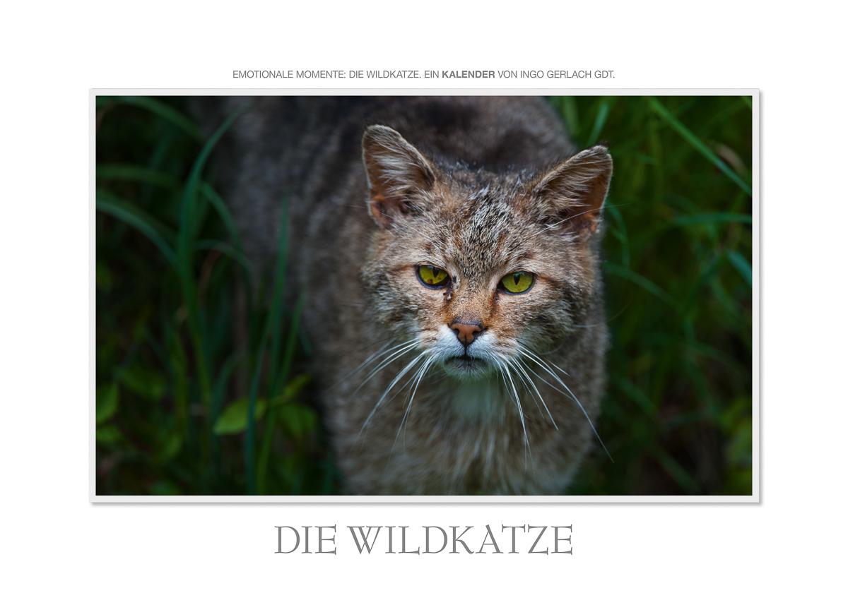 Kalender Wildkatzen