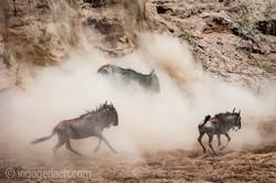 wildebeest jump to death_IWG4320