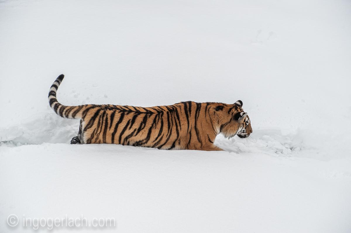 Sibirischer Tiger_IG34703