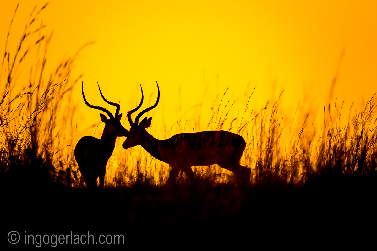Impala at sunrise_D4N_2604