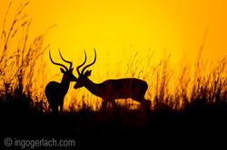 Impala at sunrise_D4N_2604