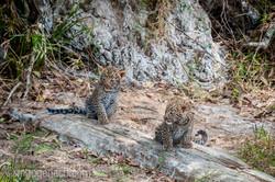 Mama Leopard mit ihren Babys_IG35776