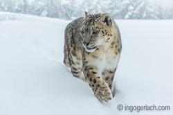 Schneeleopard_Snowleopard_DSC0621-2