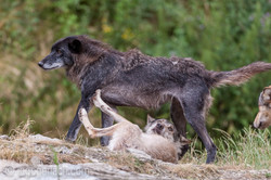 Timberwolf und Grauwolf_IGB8072