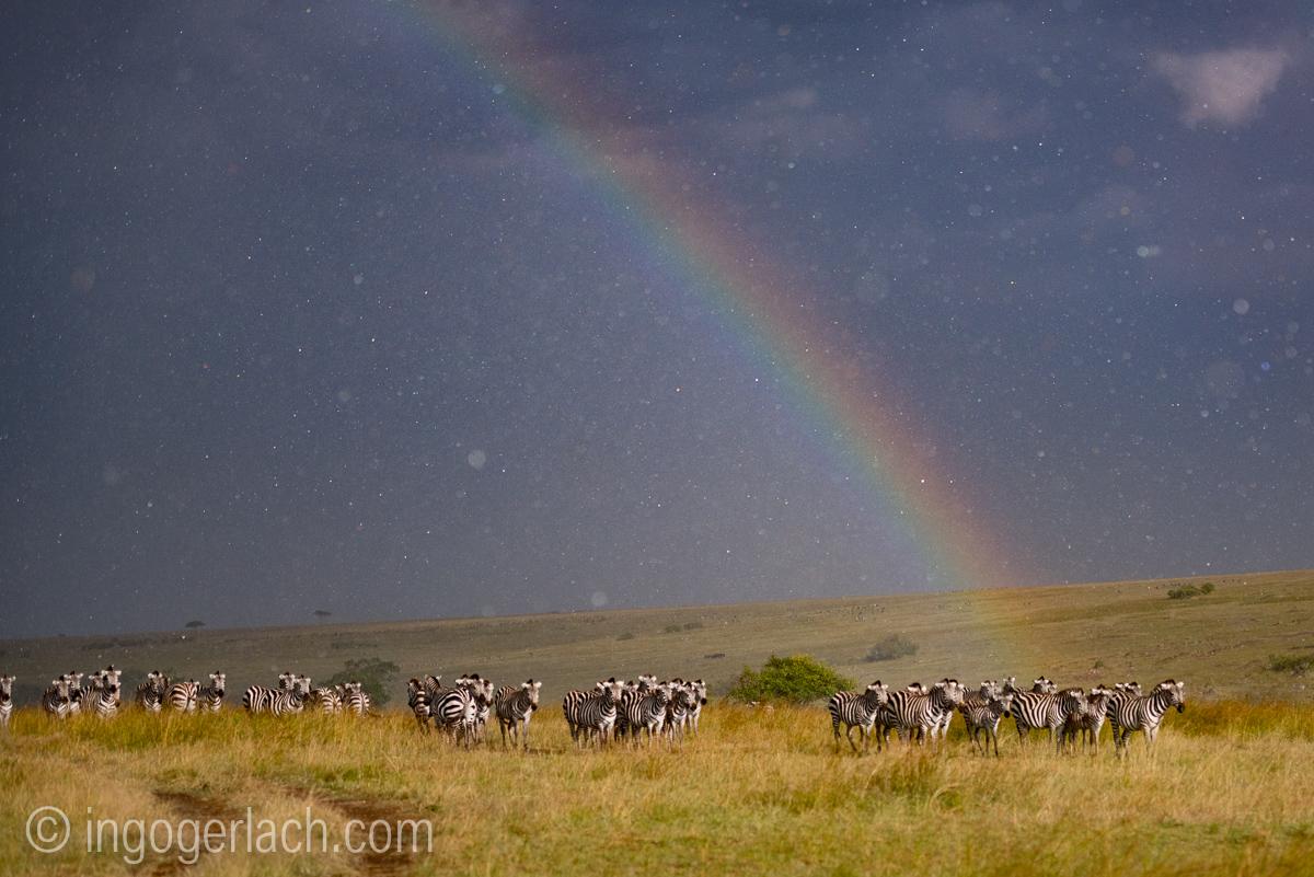 Over the Rainbow_Zebra_rain_IG7_3787