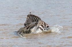 Krokodil killt Zebra_D4N_4658