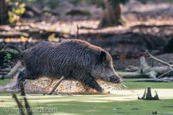Wildschwein im Wasser_D8N2922