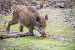 Wildschwein im Wasser_D4N7336