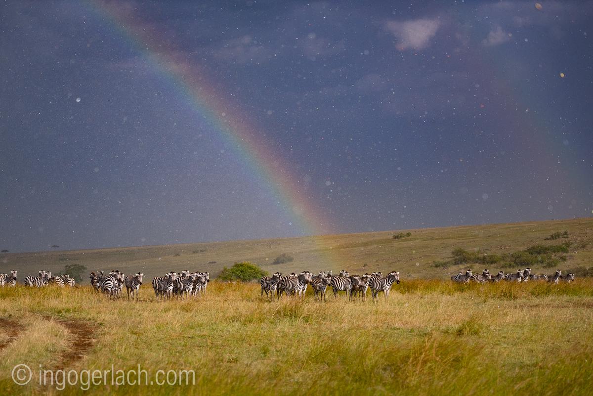 Over the Rainbow_Zebra_rain_IG7_3786