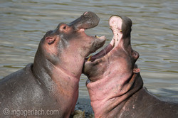Hippos palavern_D3S7932