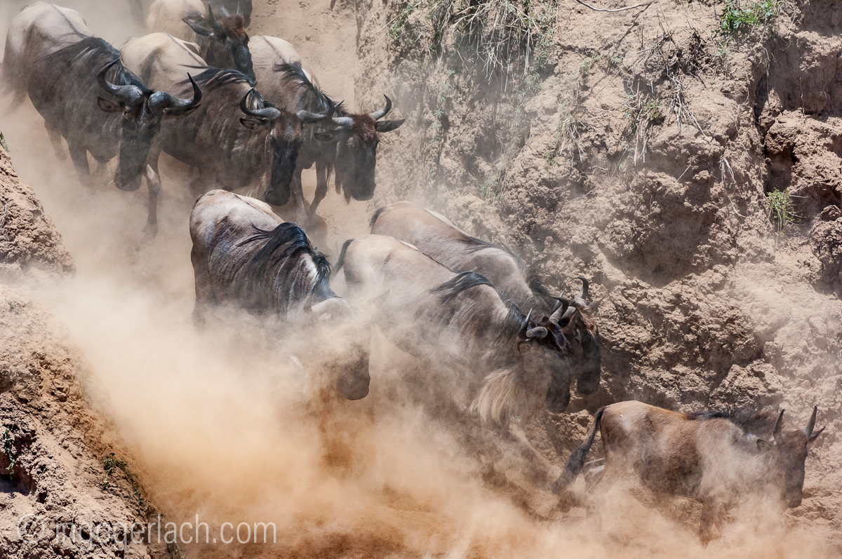 Gnu | Wildebeest_IWG4824