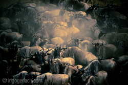 The great Migration_IG35927