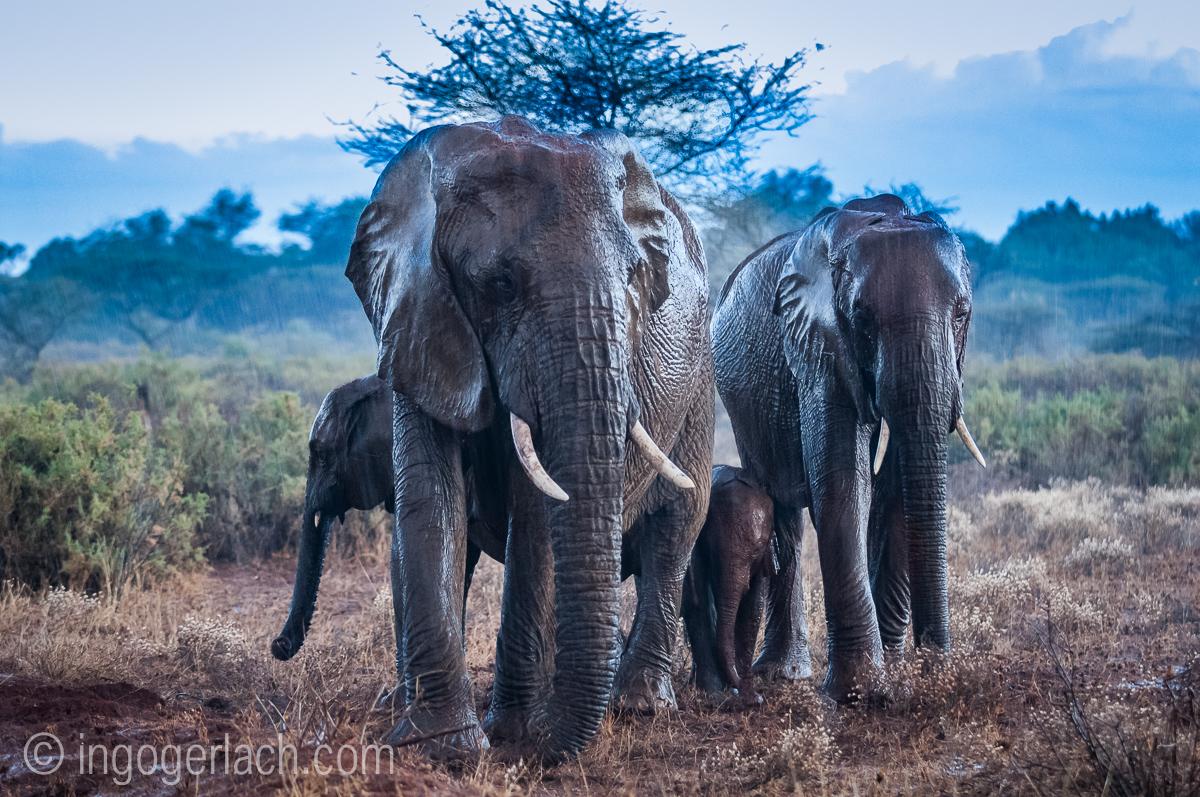Elefanten im Regen_IGB7681